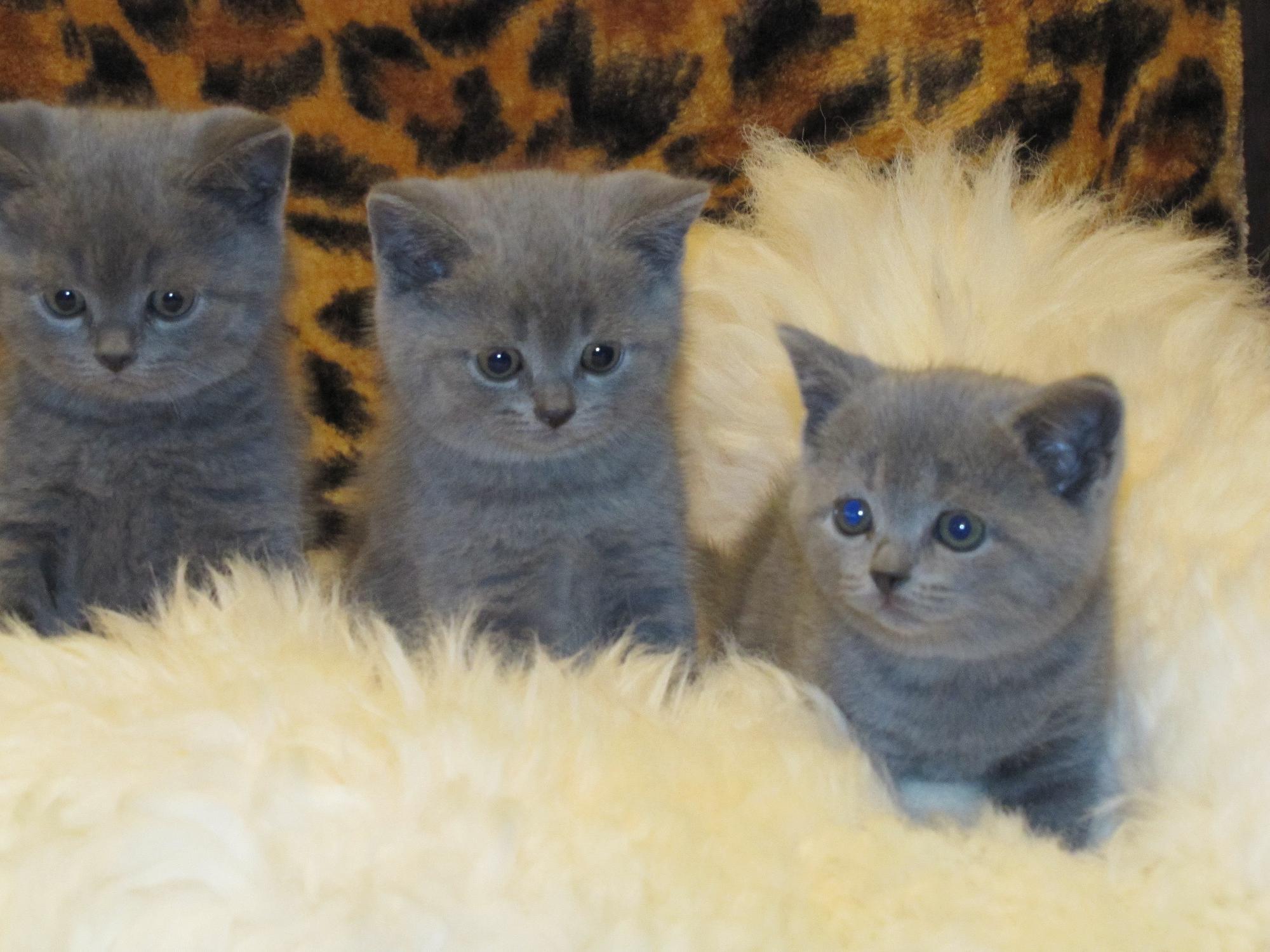 Шотландских вислоухих и страйт кошек